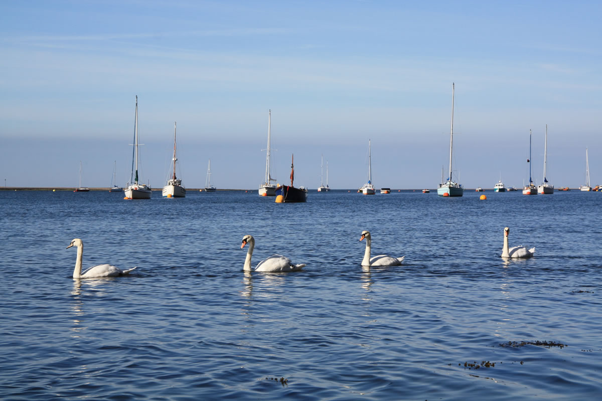 Swans on the Dovey from the Penhelig